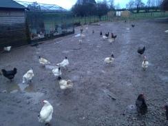 Happy Ballymaloe hens